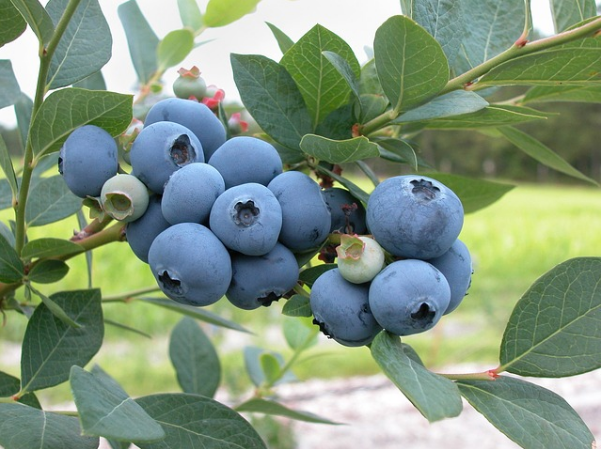 blueberry brunch recipe